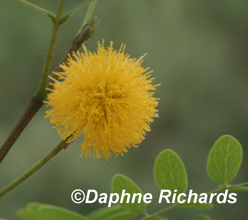 Goldenball leadtree flower by Daphne Richards