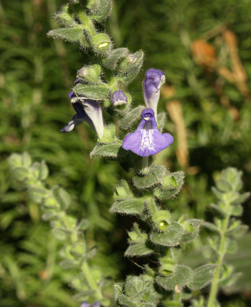 Heatleaf skullcap flower Central Texas Gardener