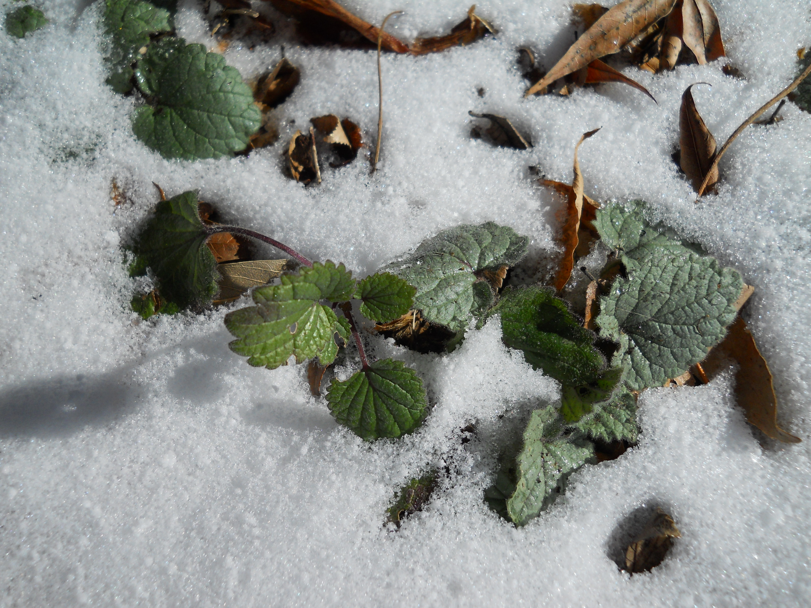 Heartleaf skullcap in snow Central Texas Gardener