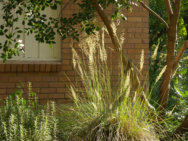 Lindheimer muhly Central Texas Gardener