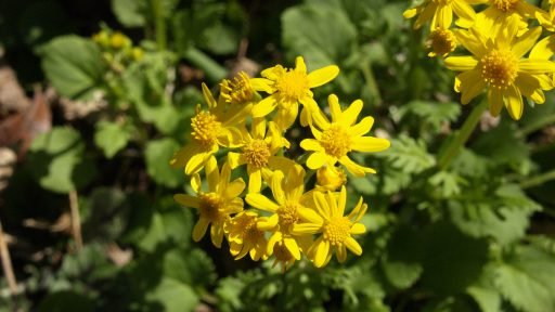 POW - Golden Groundsel