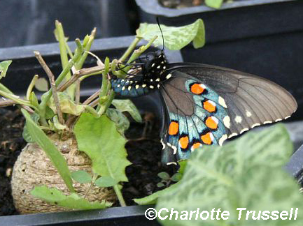 Pipevine butterfly laying egg on Dutchman's pipe by Charlotte Trussell