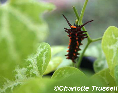 Pipevine caterpillar on Dutchman's pipe by Charlotte Trussell