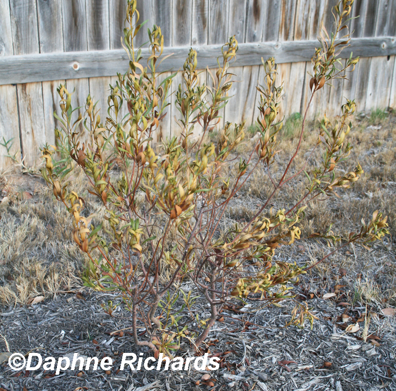 dead wax myrtle too much sun Central Texas Gardener