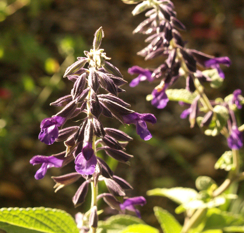 Salvia 'Anthony Parker' Central Texas Gardener
