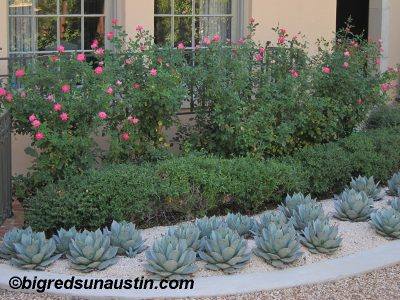 Agave parryi with Knock Out roses Big Red Sun