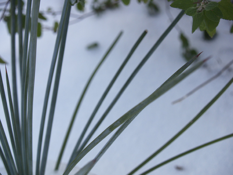 Agave striata in snow