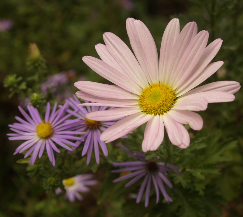 'Country Girl' chrysanthemum and fall aster Central Texas Gardener