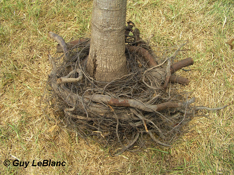 Girdled tree roots Guy LeBlanc