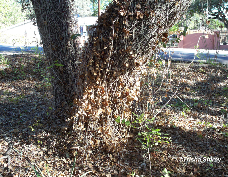 English ivy killing tree by Trisha Shirey
