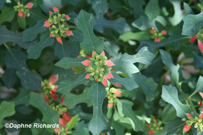 Texas native poinsettia (Euphorbia cyathophora) by Daphne Richards