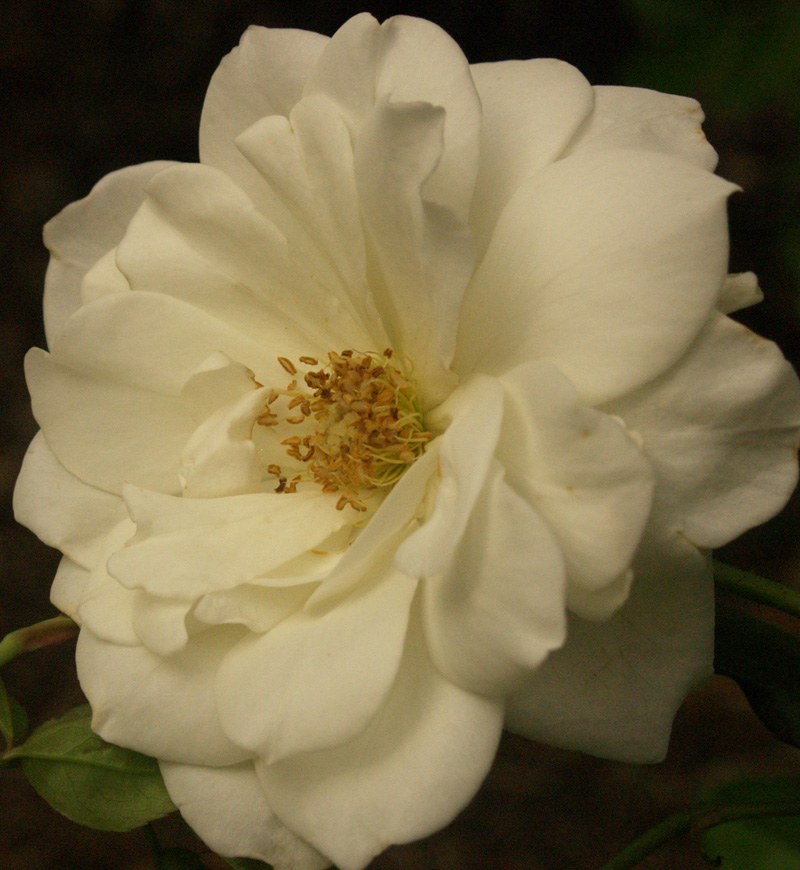 Iceberg rose Central Texas Gardener