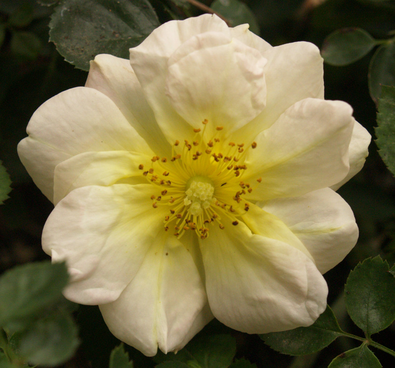 Republic of Texas rose Central Texas Gardener