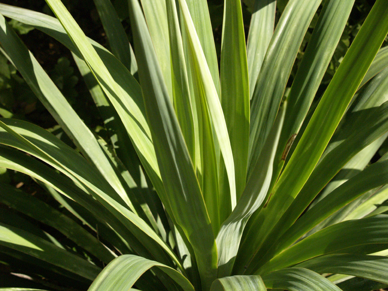 Soft leaf yucca Central Texas Gardener