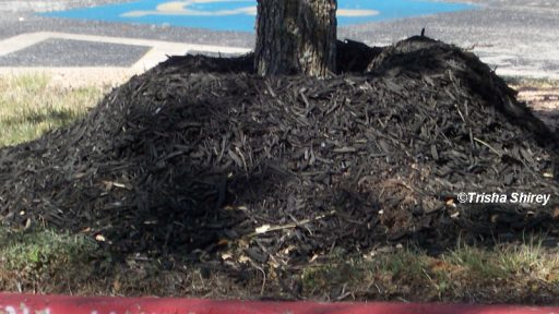 Volcano mulch that kills a tree by Trisha Shirey
