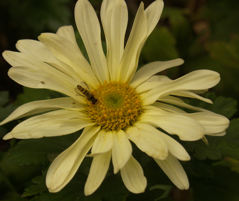 Hover fly on Butterpat chrysanthemum