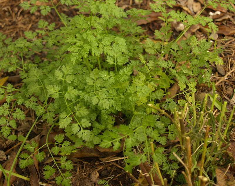 Chervil and cut back angelonia companion planting