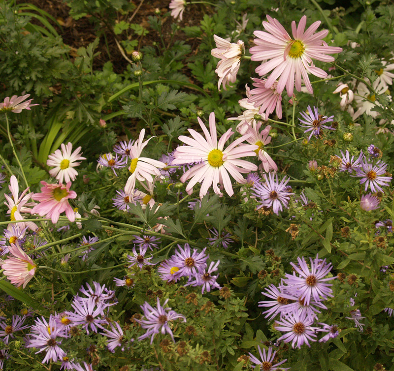 Country Girl chrysanthemums and fall asters