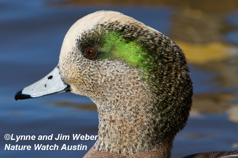 American Wigeon Nature Watch Austin