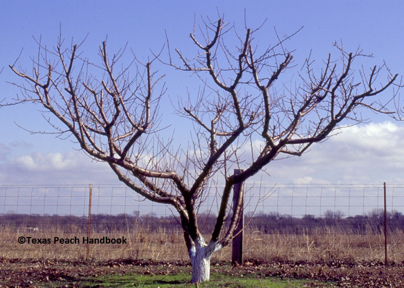 peach tree pruning Texas Peach Handbook