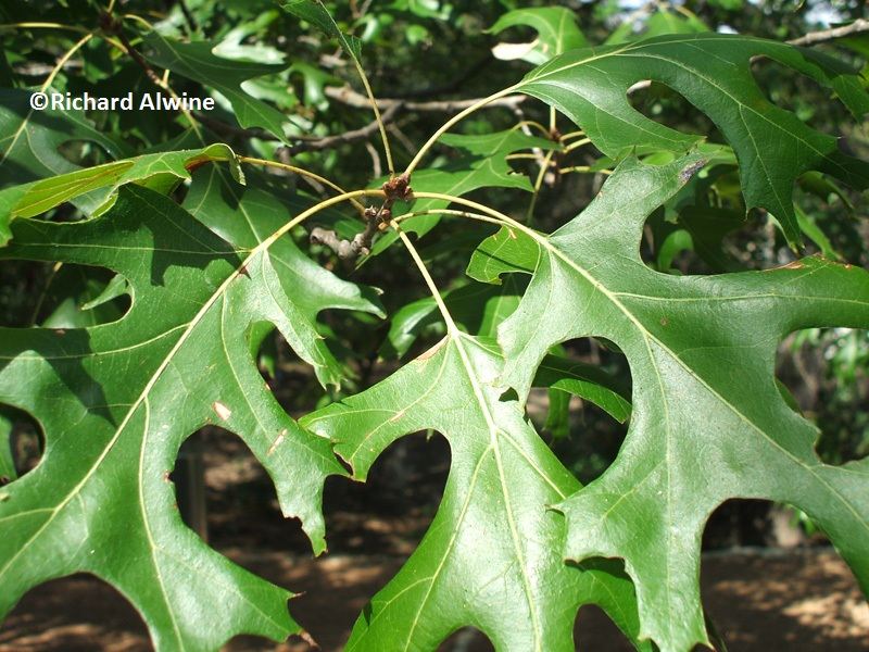 healthy red oak leaf
