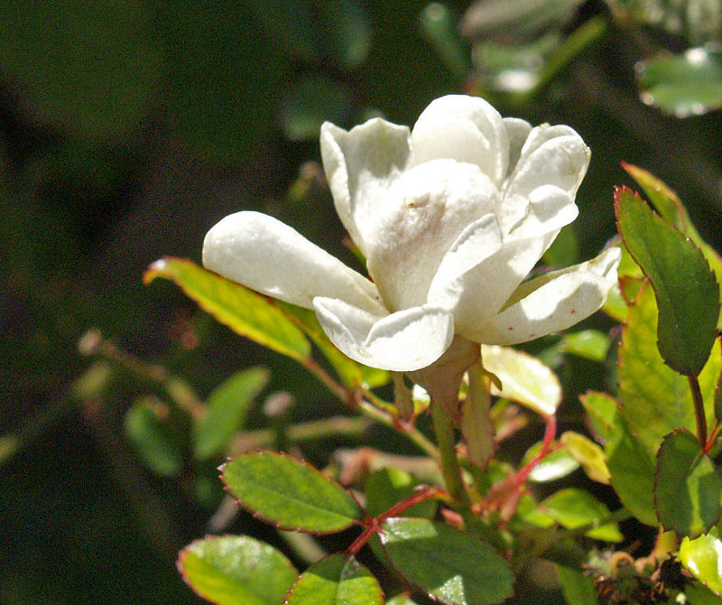 The Fairy rose white winter bloom