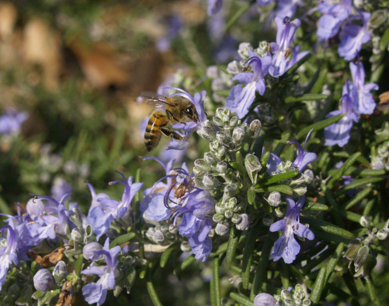Rosemary flowers with bee