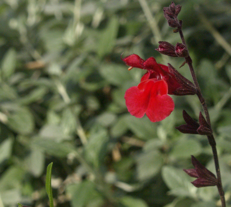 Salvia greggi flower with silver germander