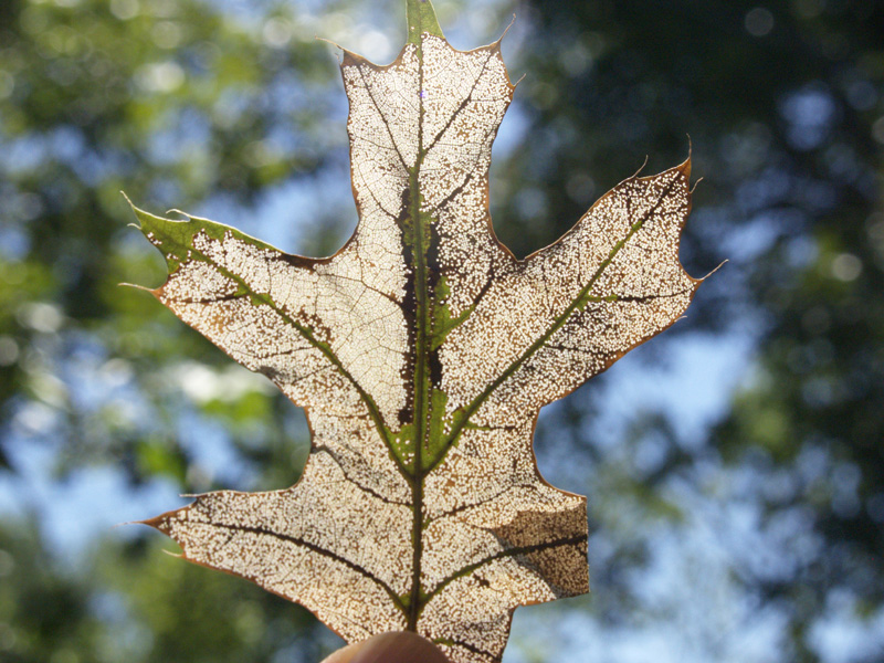 skeletonized red oak leaf