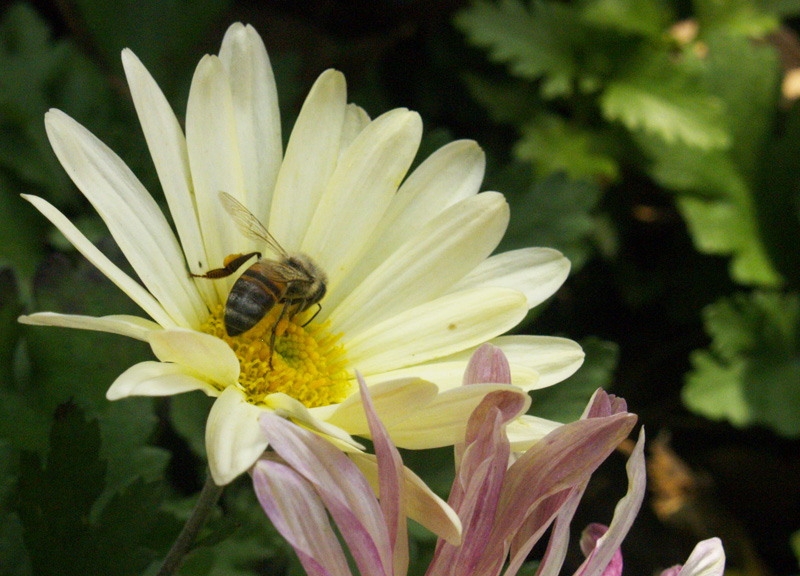 Bee on chrysanthemum 'Butterpat'