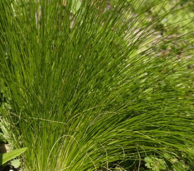 POW - Mexican Feather Grass