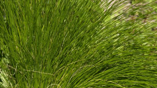 POW - Mexican Feather Grass