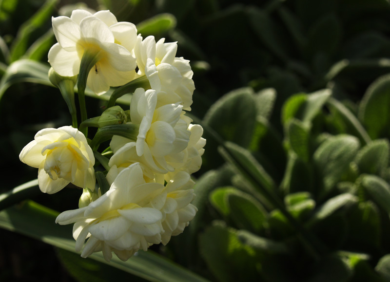 Narcisssus Erlicheer with 'Helen von Stein' lamb's ears