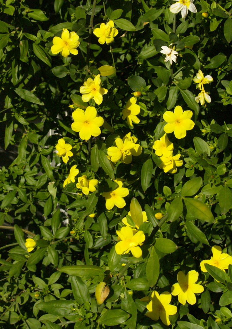 primrose jasmine early bloom