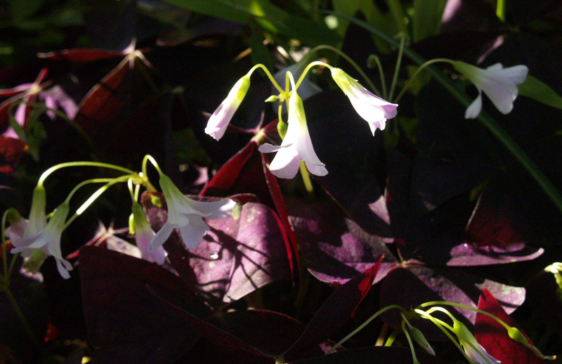purple oxalis flowers