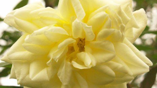 Isabella Sprunt rose
