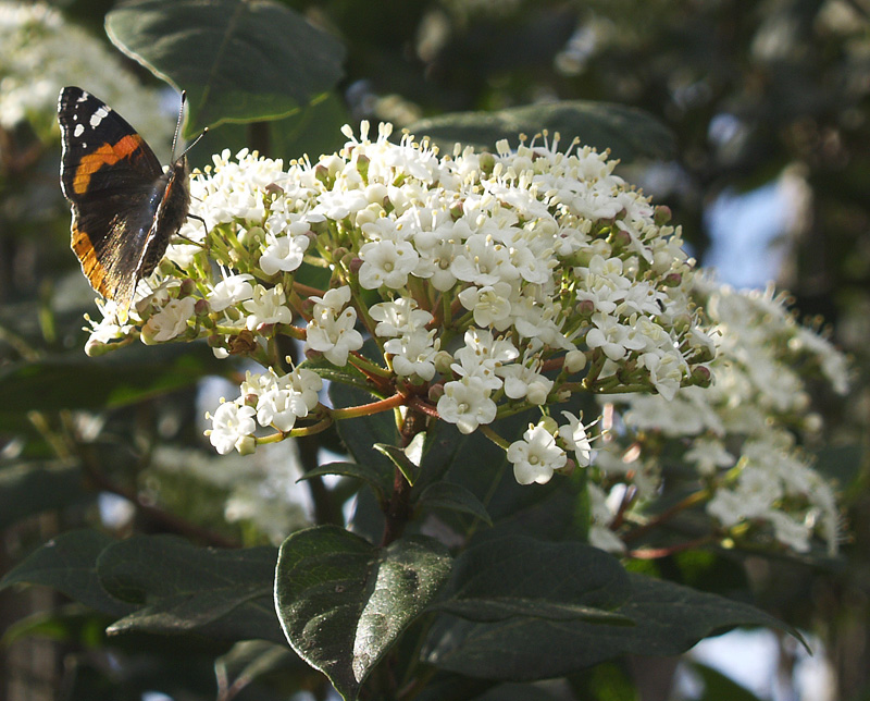 Red Admiral butterfly on 'Spring Bouquet' viburnum