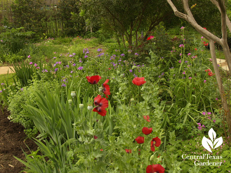 Poppies, bearded iris, spiderworts in Austin Texas garden (c) Linda Lehmusvirta