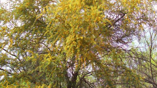 Huisache tree in San Antonio (c) Donna Sanders