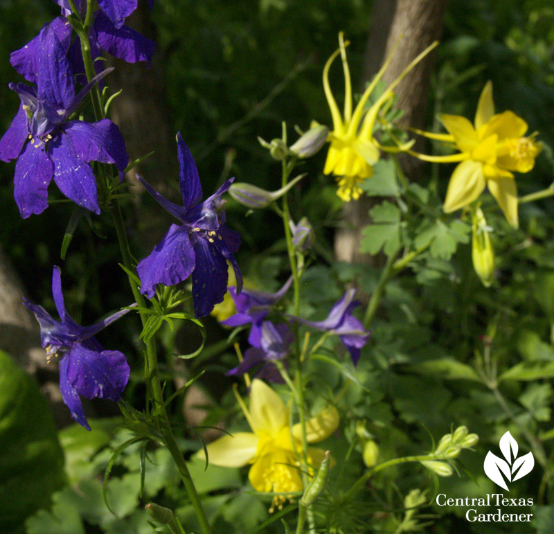Purple larkspur and yellow columbine (c) Linda Lehmusvirta
