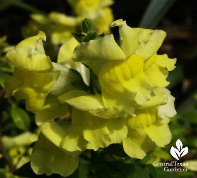 Yellow snapdragon (c) Linda Lehmusvirta
