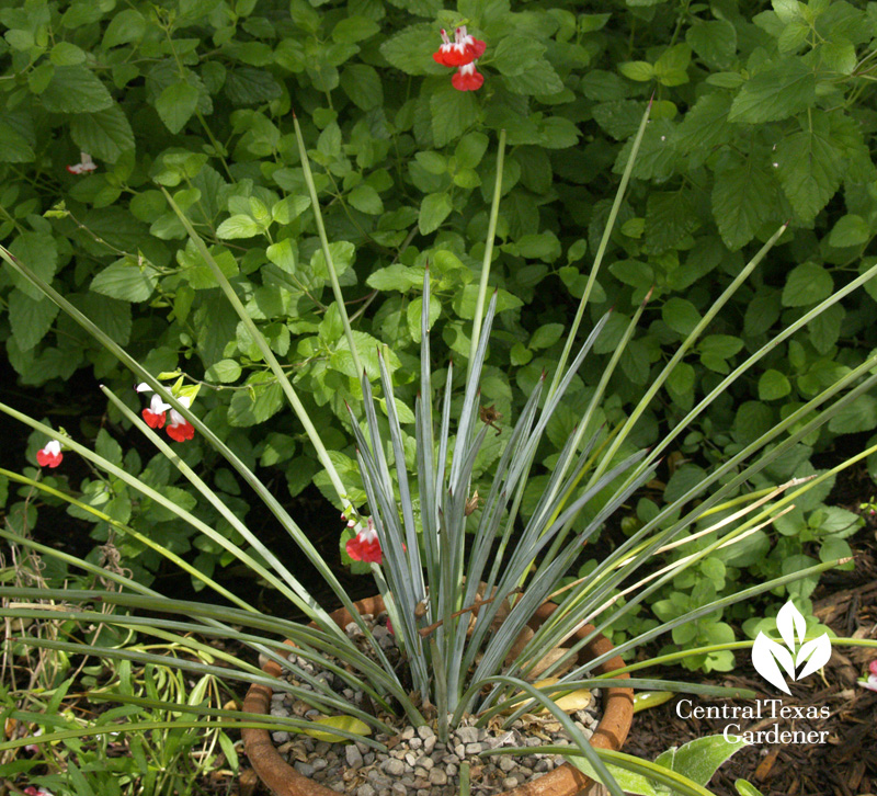 Agave striata with 'Hot Lips' salvia