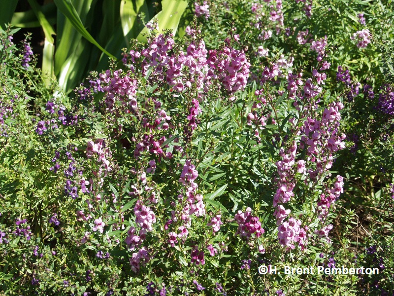 Angelonia Serena series Texas Superstar plants