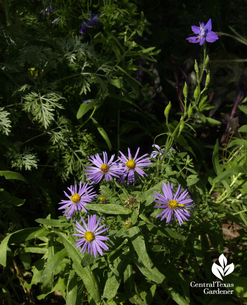 Fall aster and larkspur in spring Austin garden