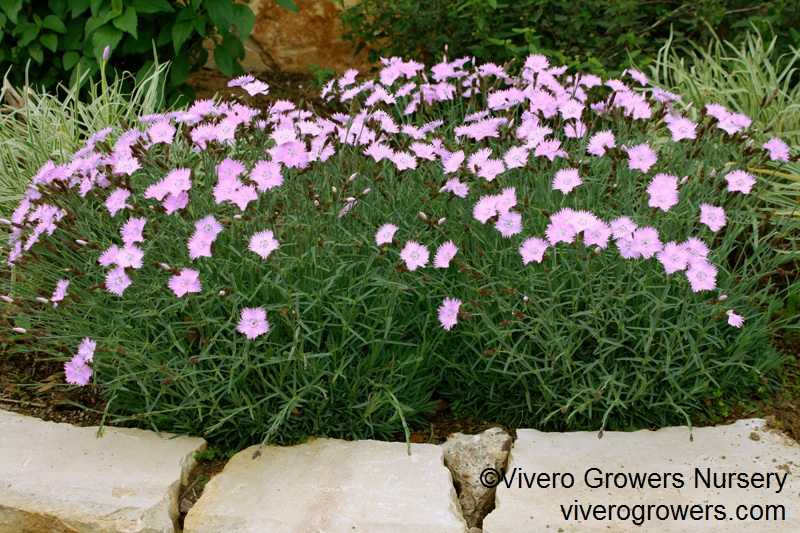 'Bath's Pink' dianthus, Vivero Growers Nursery