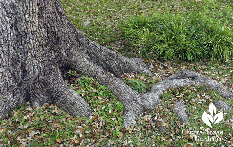 exposed oak tree roots