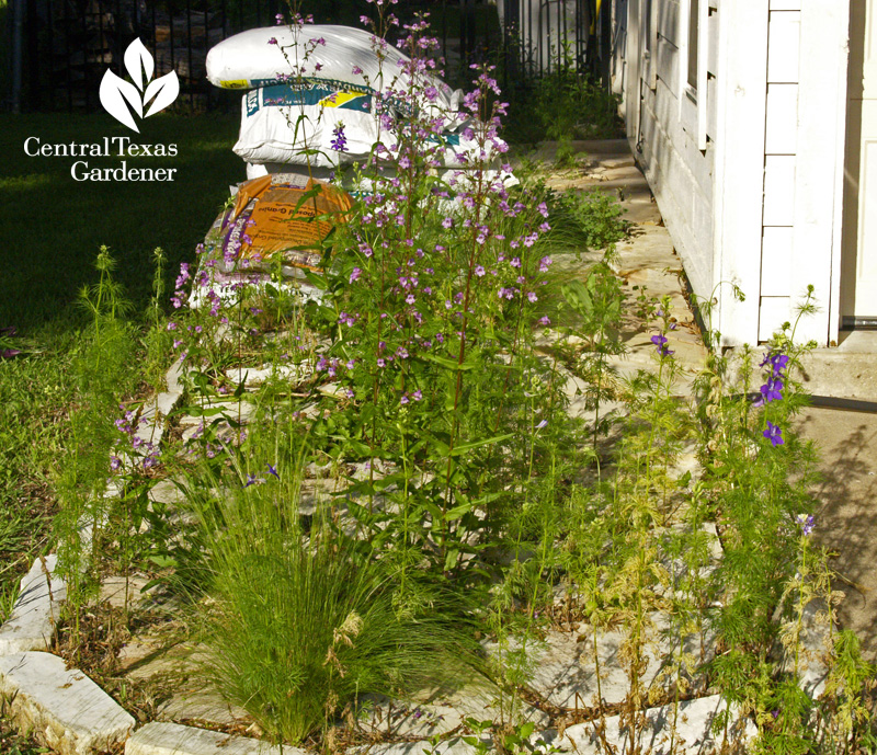 Gulf penstemon and Mexican feather grass seeded on pathway