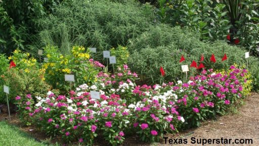 Cora and Nirvana vinca, Texas Superstar plants