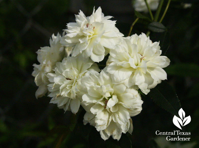 White Lady Banks flower