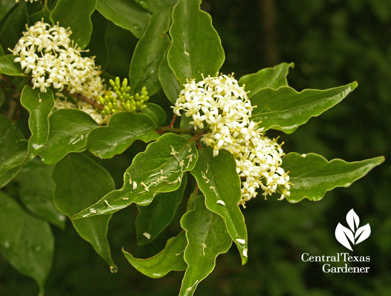 Rusty blackhaw viburnum flowers